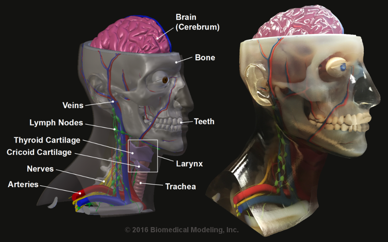 Multi-color 3D-printed model of head, neck and brain for general illustration and technical demonstration. Designed by Biomedical Modeling, Inc. (BMI). Manufactured by Stratasys Ltd.